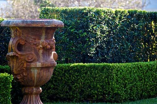 Murraya & Buxus hedges create a back drop wall for the urn